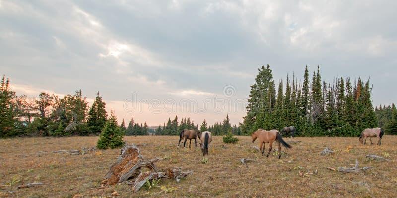 吃草在沉材日志旁边的野马小牧群在普莱尔山野马范围的日落在蒙大拿美国 免版税库存图片