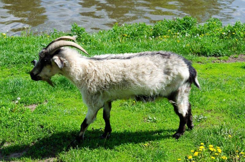 吃草在河的河岸的山羊 免版税库存照片