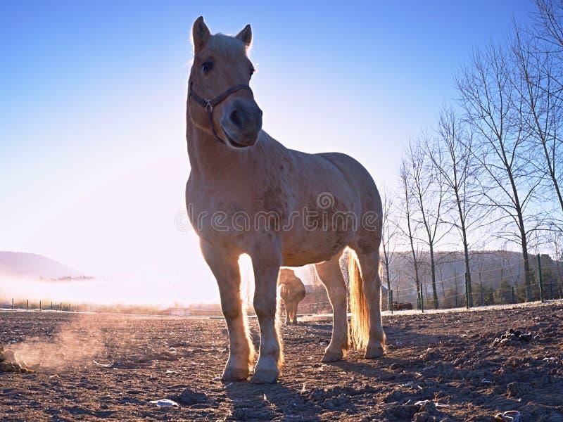 吃草在泥泞的领域的白马在秋天 免版税库存照片