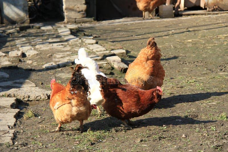 吃草在泥的鸡群  免版税库存照片