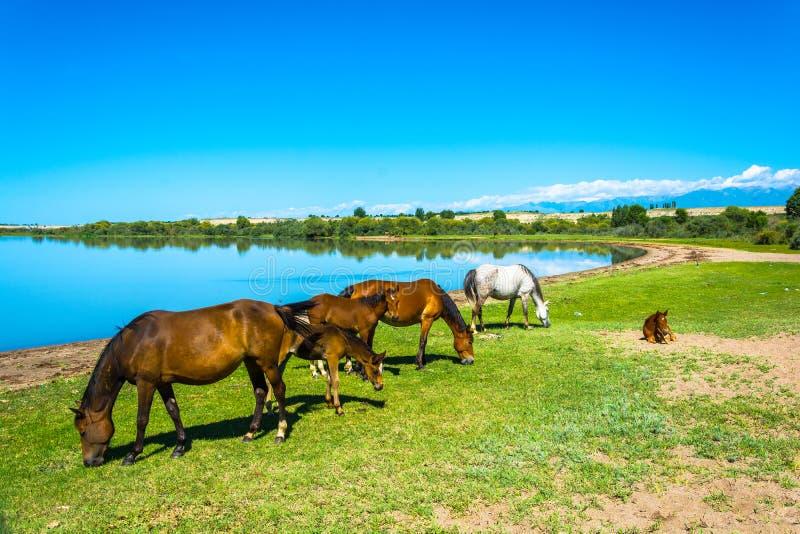 吃草在湖伊塞克湖,哈萨克斯坦岸的马  图库摄影