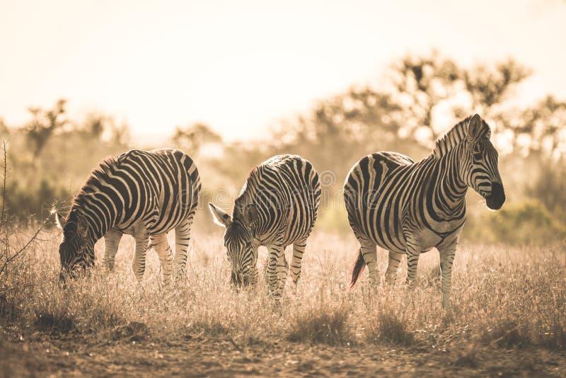 吃草在灌木的斑马牧群  野生生物徒步旅行队在克留格尔国家公园,主要旅行目的地在南非 被定调子的i 免版税图库摄影