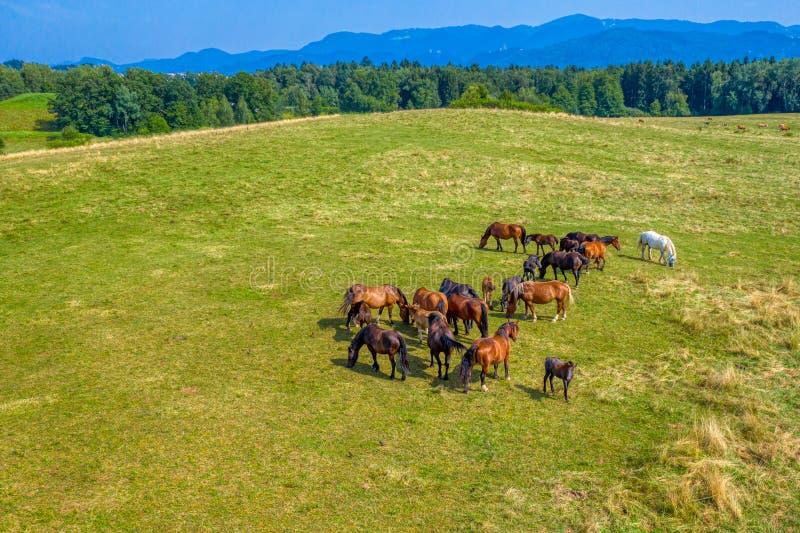 吃草在牧场地、绿色风景鸟瞰图与棕色马牧群的和一个唯一白马的马 免版税库存照片