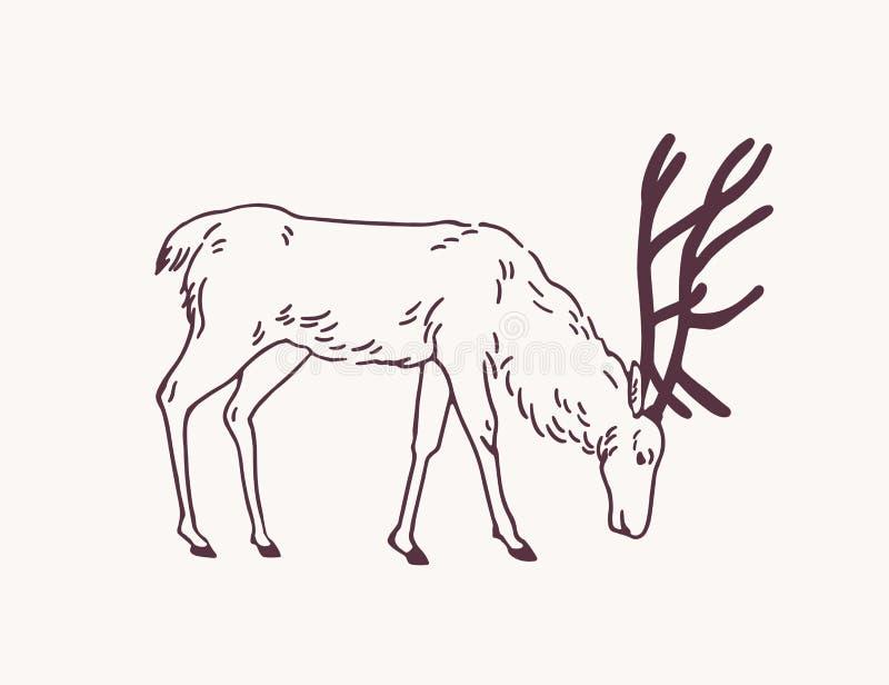 吃草在牧场地的公鹿、驯鹿或者雄鹿手拉与在轻的背景的等高线 装饰画  库存例证