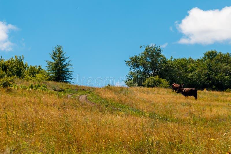 吃草在牧场地的母牛在晴朗的夏日 图库摄影