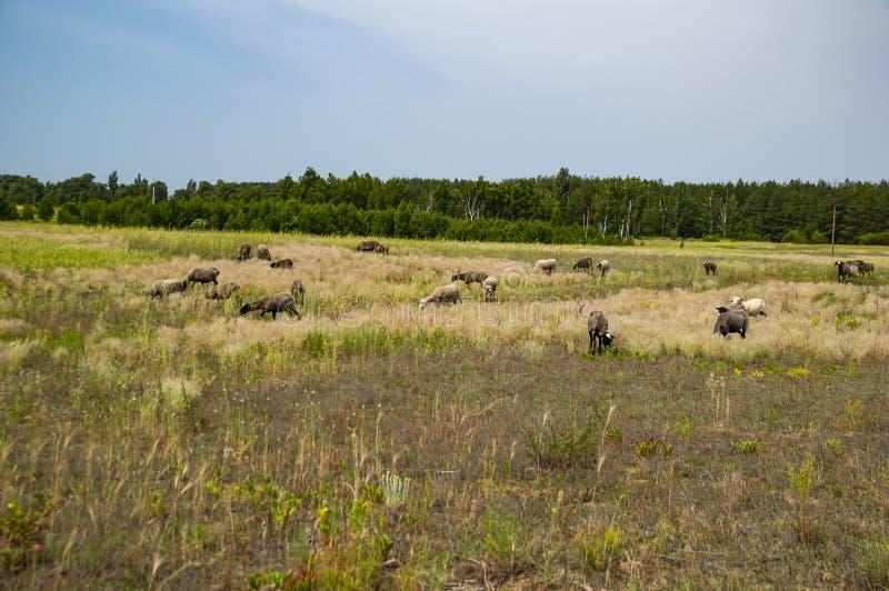 吃草在牧场地的绵羊群  免版税库存图片
