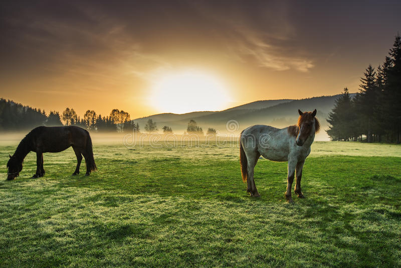 吃草在牧场地的马在有薄雾的日出 免版税库存图片