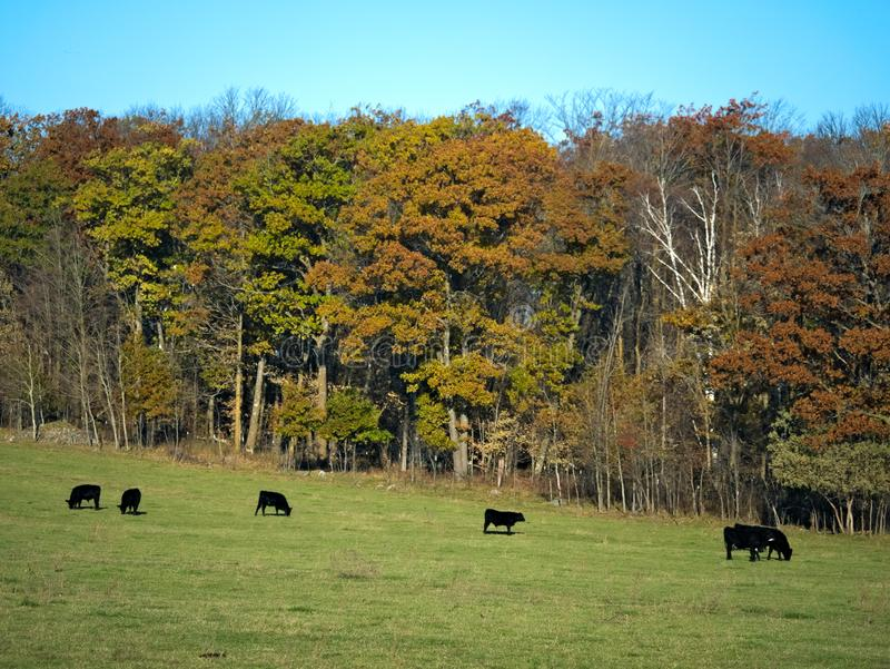 吃草在牧场地的黑安格斯肉用牛牧群在秋天 免版税库存图片