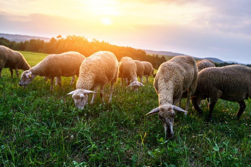 吃草在牧场地的绵羊群  免版税图库摄影