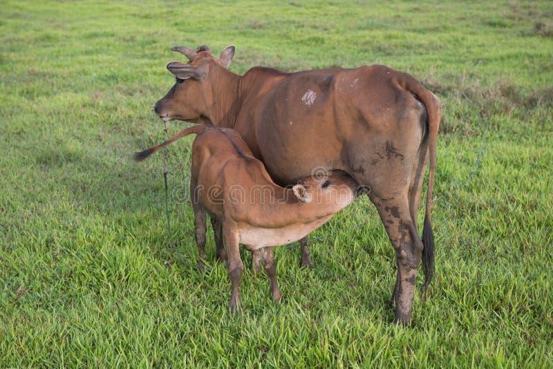 吃草在牧场地领域风景的母牛 库存照片