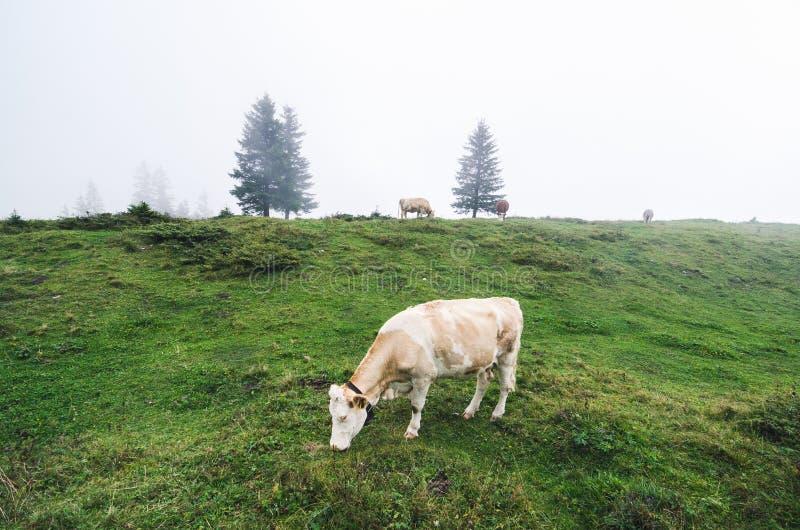 吃草在瑞士阿尔卑斯山脉的孤立母牛 图库摄影