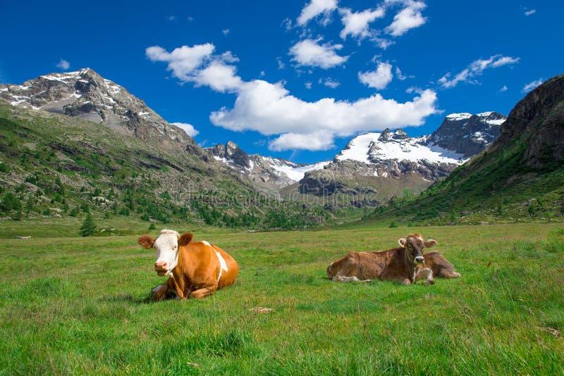 吃草在瑞士阿尔卑斯的高山的母牛 免版税库存图片