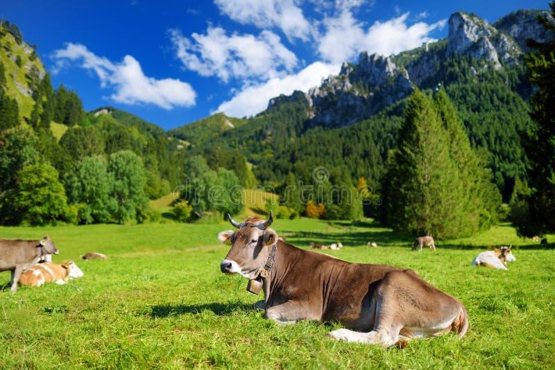 吃草在田园诗绿色草甸的母牛 巴法力亚阿尔卑斯风景看法有庄严山的在背景中 图库摄影
