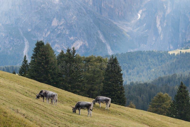 吃草在白云岩的母牛 图库摄影