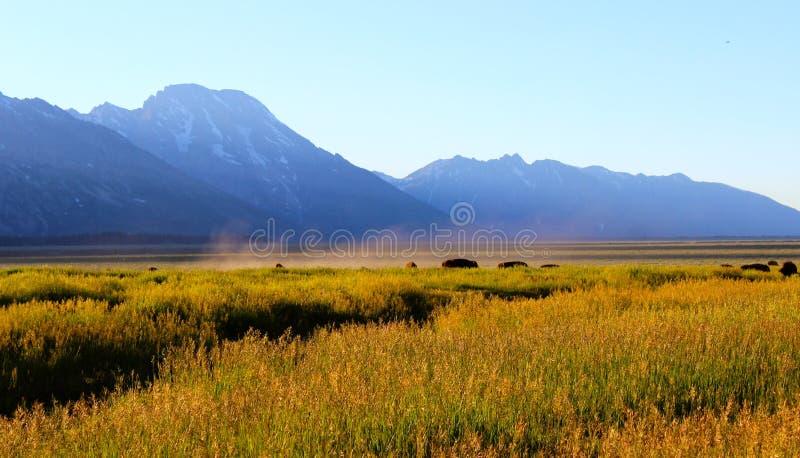 吃草在盛大Tetons的晚上的北美野牛 免版税库存图片