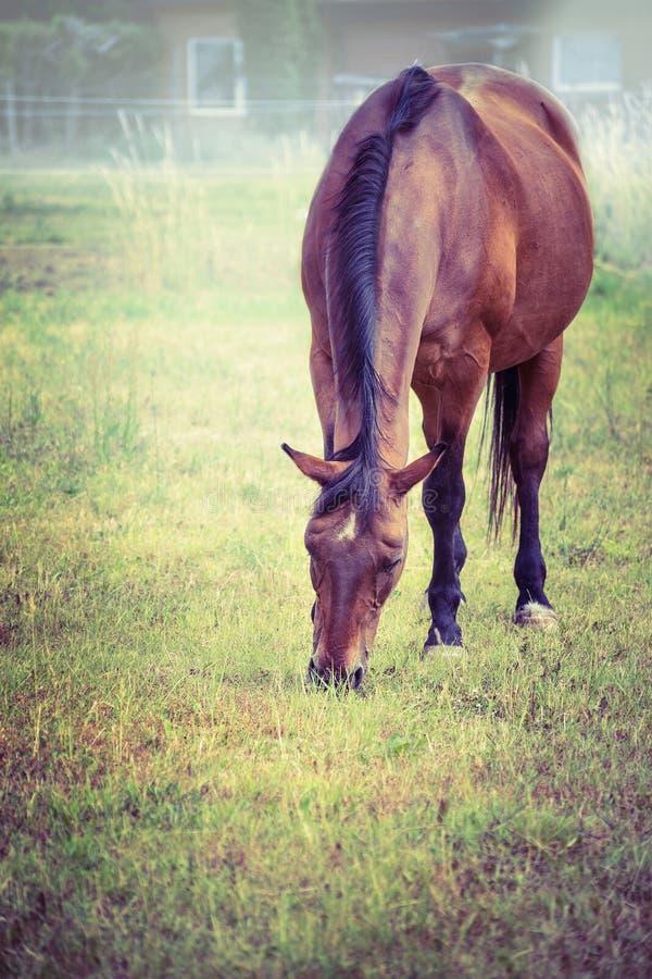吃草在秋天牧场地的布朗马 免版税库存照片