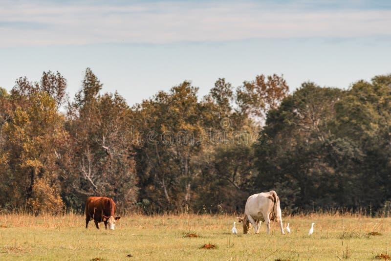 吃草在秋天牧场地的牛 免版税图库摄影