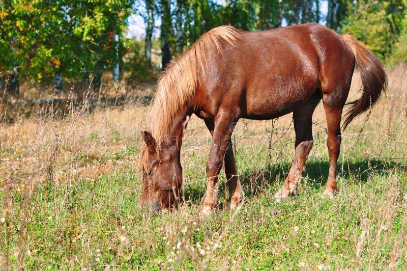 吃草在秋天草甸的美丽的棕色马 库存图片