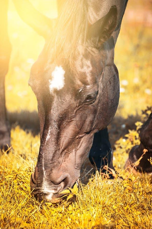 吃草在秋天草的马在晴天 免版税图库摄影