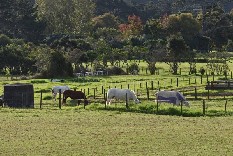 吃草在篱芭后的马 免版税库存照片
