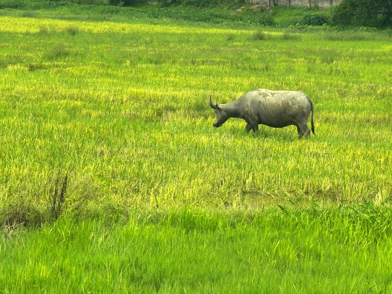 吃草在米领域的水牛在北越南 库存图片