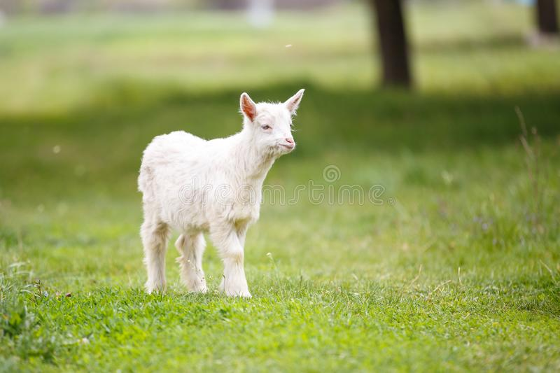 吃草在绿色草甸的小白色山羊孩子 图库摄影