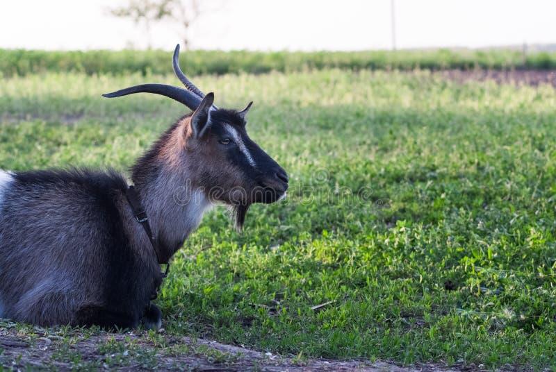 吃草在绿色象草的草坪的好奇愉快的山羊 一只滑稽的山羊的画象 7个动物动画片农厂例证系列 免版税库存照片