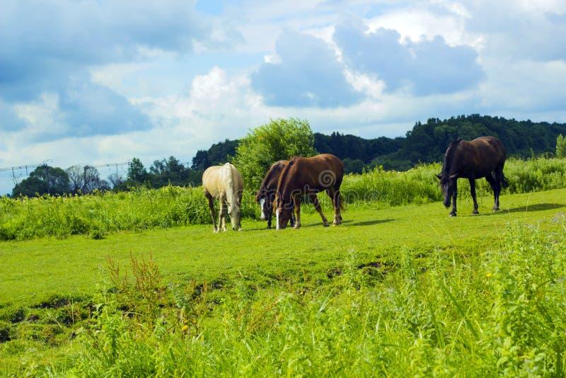 吃草在绿色领域的不同的马牧群  免版税库存图片