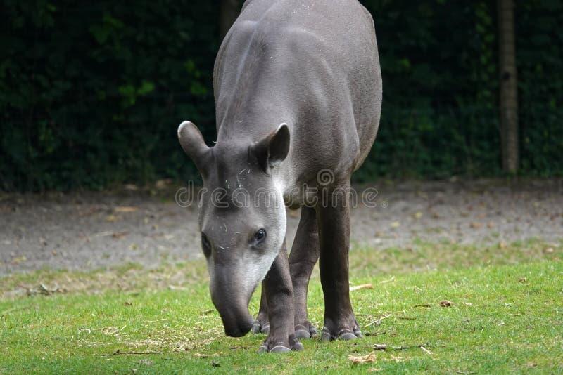 吃草在绿草的南美貘 库存图片