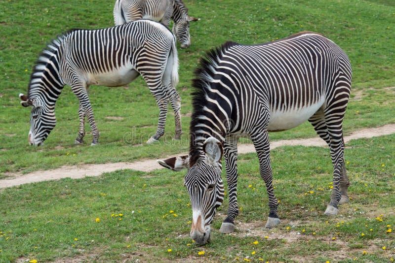 吃草在绿草的格雷维的斑马马属grevyi的牧群 免版税库存照片