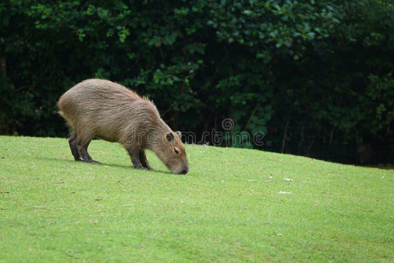 吃草在绿草的水豚或水肉猪 免版税库存照片