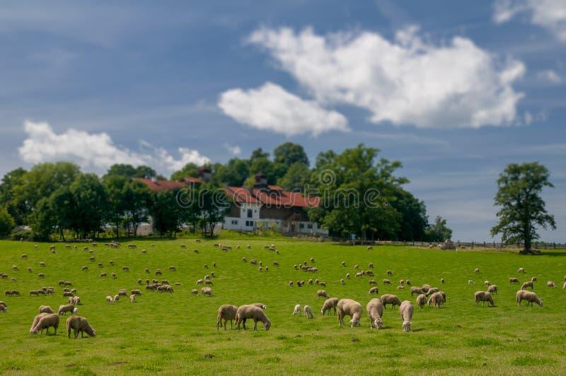 吃草在绿草的绵羊牧群 免版税库存照片