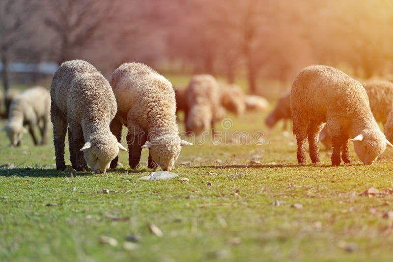 人和绵羊交配_吃草在美丽的山草甸的绵羊群. 森林, 特写镜头.