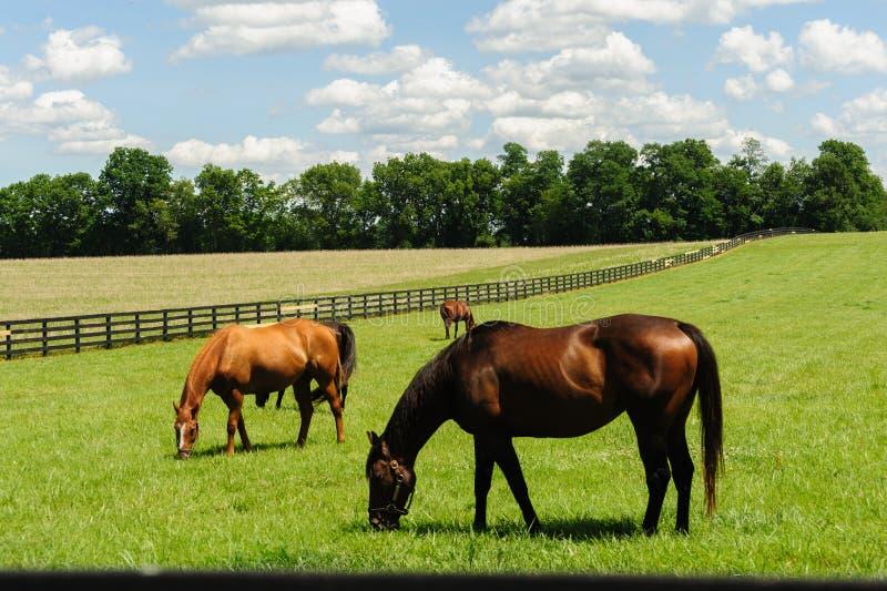 吃草在肯塔基马农场的纯血种马 库存照片