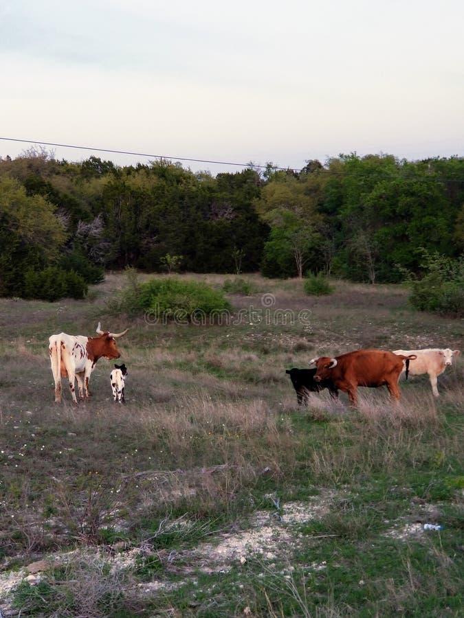 吃草在胡德堡,得克萨斯的长角牛 免版税库存照片