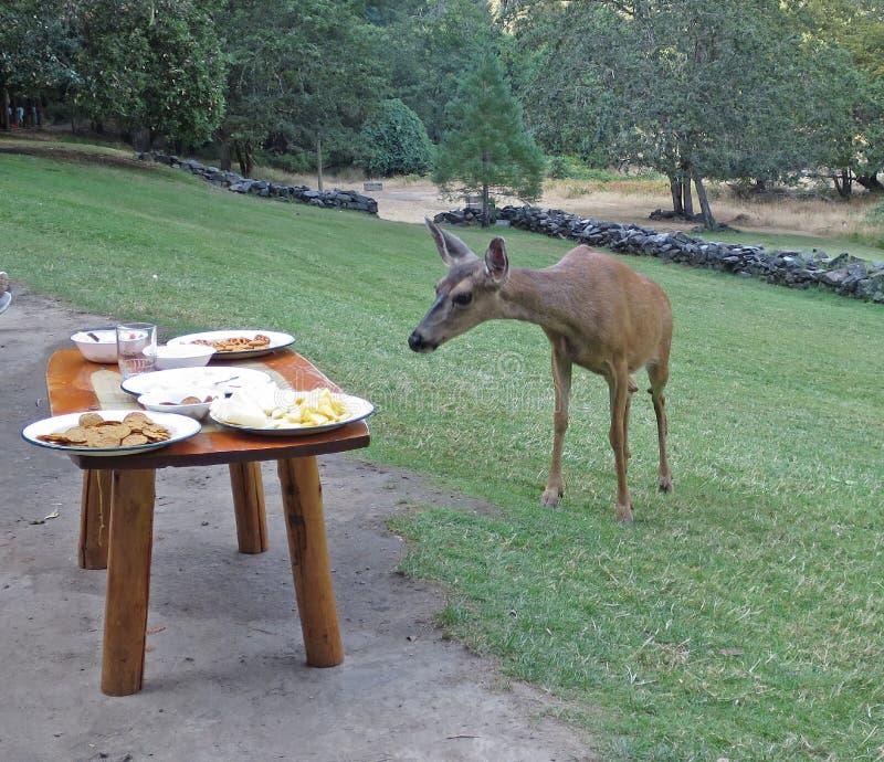 吃草在自助餐的鹿 库存图片