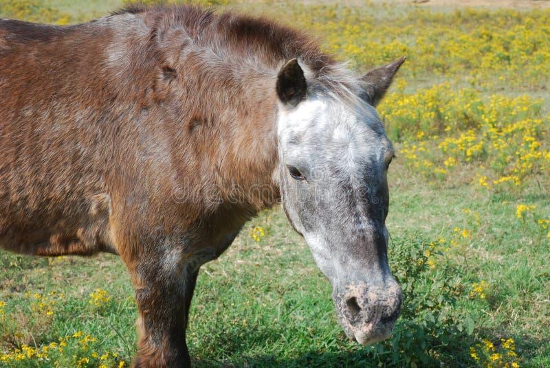 吃草在花的领域的马 免版税库存图片