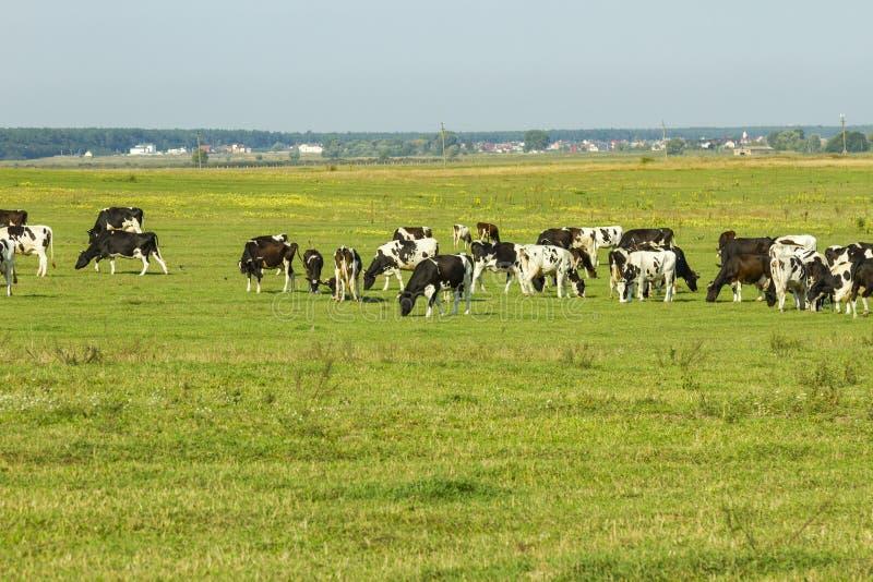 吃草在草一个豪华的绿色牧场地的幼小母牛和小牝牛牧群在一美好的好日子 在a的黑白母牛 免版税库存图片