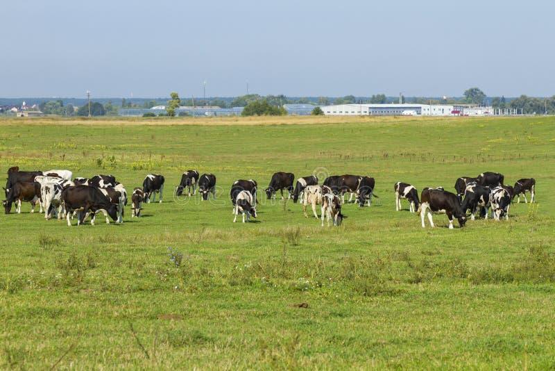 吃草在草一个豪华的绿色牧场地的幼小母牛和小牝牛牧群在一美好的好日子 在a的黑白母牛 免版税图库摄影
