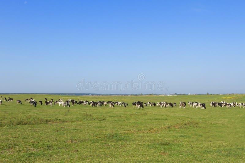吃草在草一个豪华的绿色牧场地的幼小母牛和小牝牛牧群在一美好的好日子 在a的黑白母牛 图库摄影