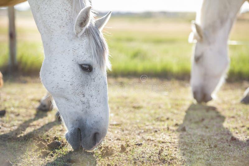 吃草在草甸的一匹灰色马的画象在日落,与另一匹马在背景中 ?? 没有人 库存图片