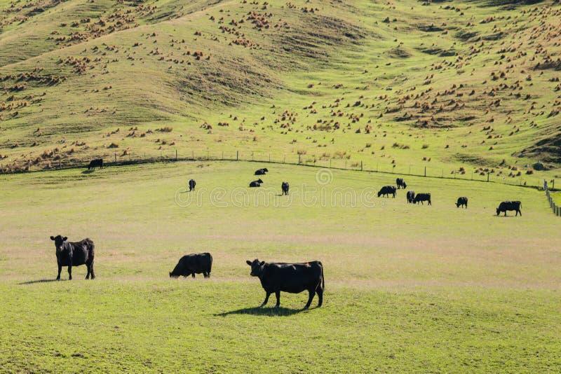 吃草在草甸的威尔士黑牛 免版税库存照片