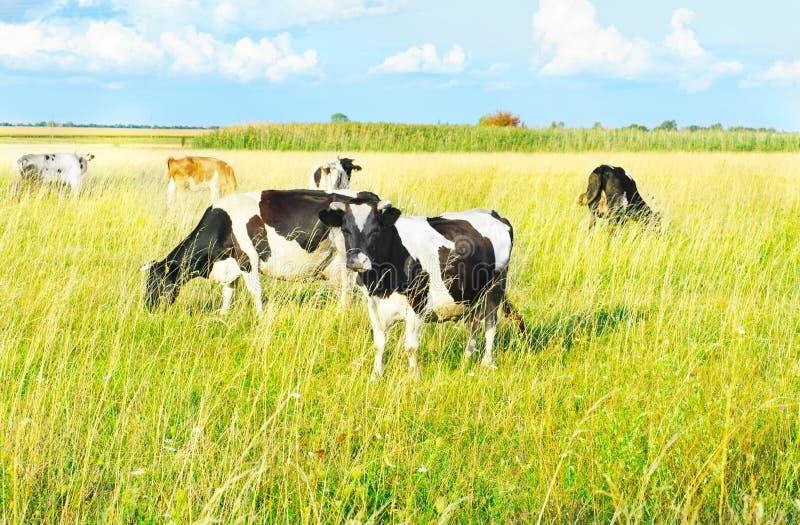 吃草在草甸的母牛。 夏天晴天 库存照片