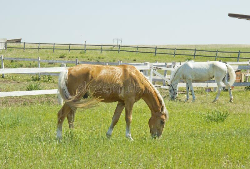 吃草在草甸的白色和红色马 库存照片