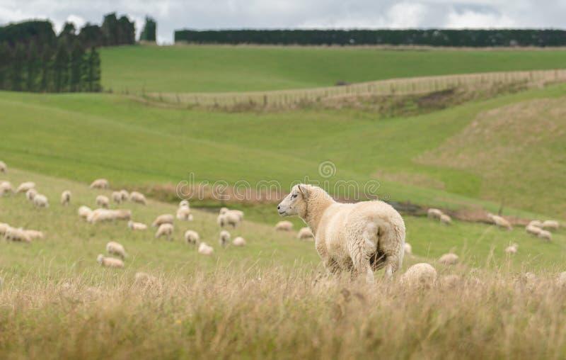 吃草在草甸的绵羊看法,新西兰 免版税图库摄影