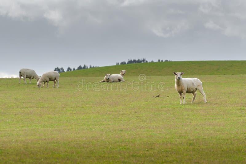 吃草在草甸的绵羊看法,新西兰 库存照片