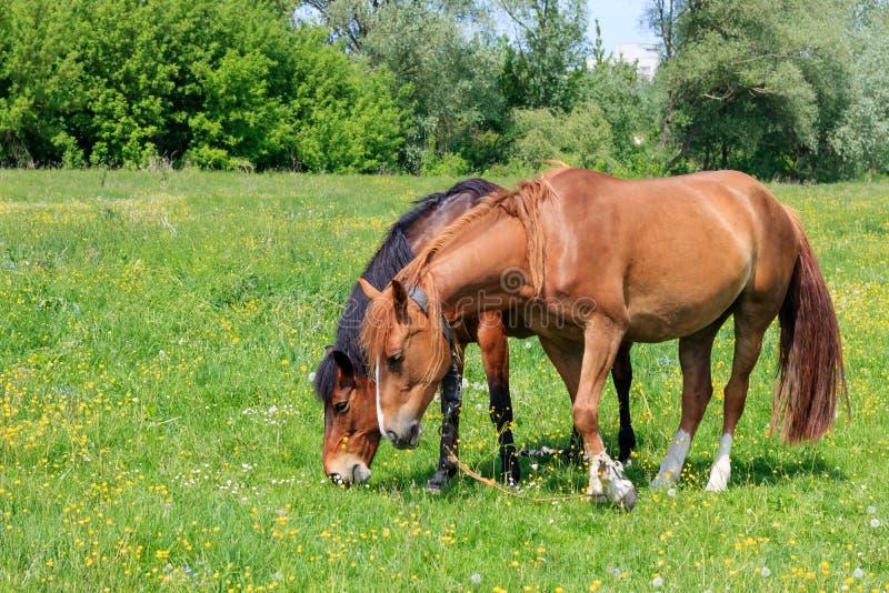 吃草在草甸的绿草的两匹棕色马在一个晴朗的夏日 库存图片