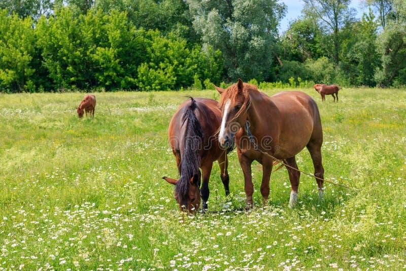 吃草在草甸的绿草的四匹马在一个晴朗的夏日 库存照片