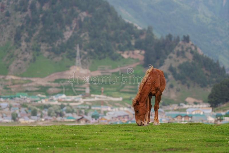 吃草在草甸的草有农村城市的和山景的马在Sonamarg,查谟和克什米尔,印度 免版税库存图片