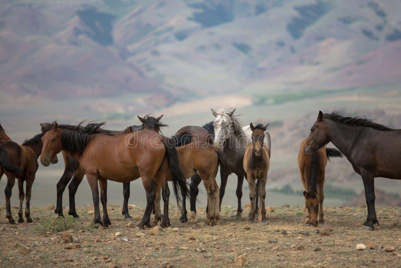 吃草在草甸的马牧群  免版税库存照片